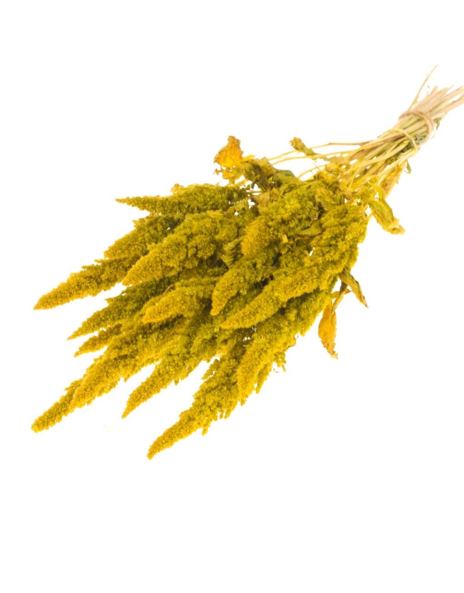 LDD Amaranthus yellow x 20