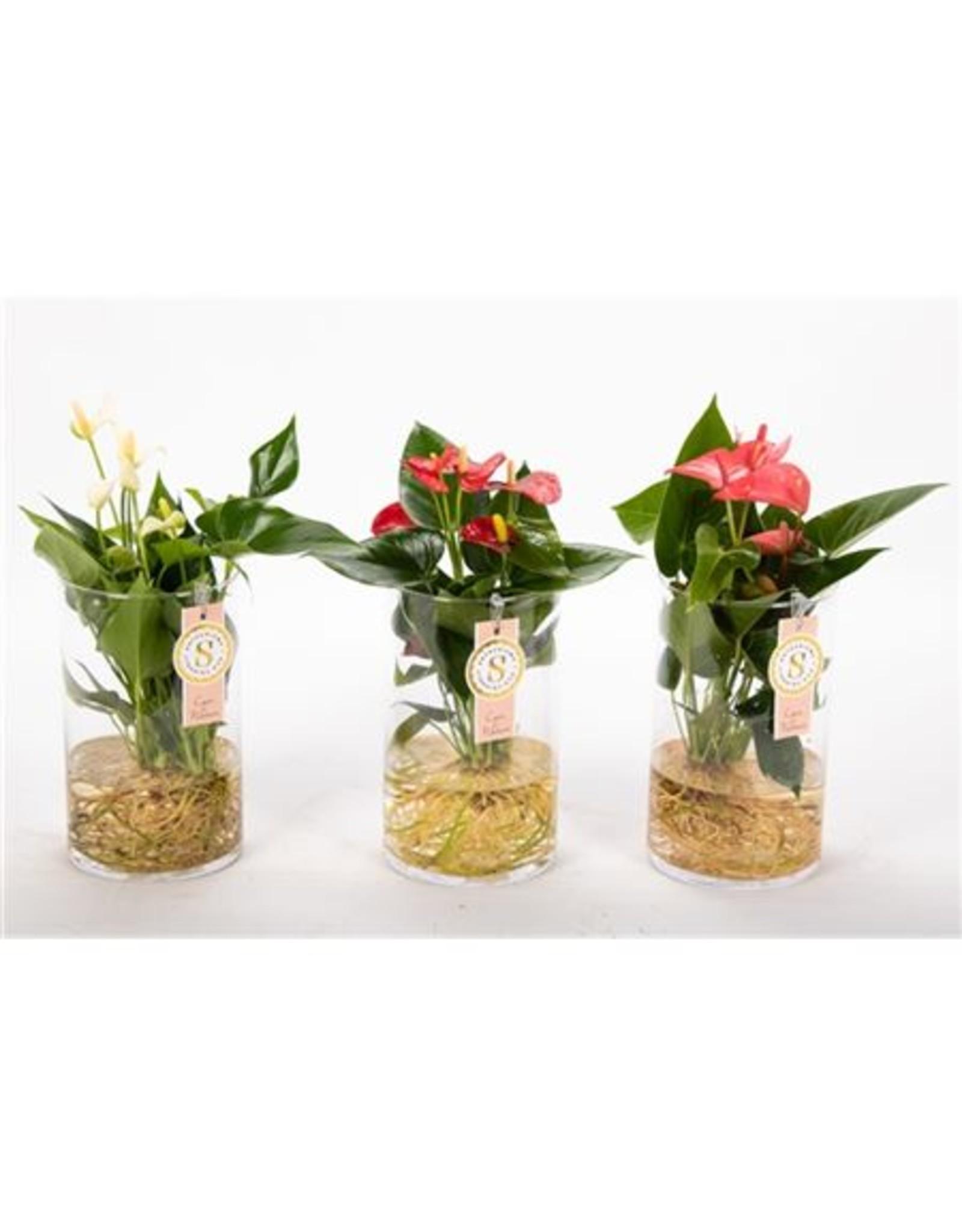 VDP Anth St Gemengd Glas Aqua Roots x 3