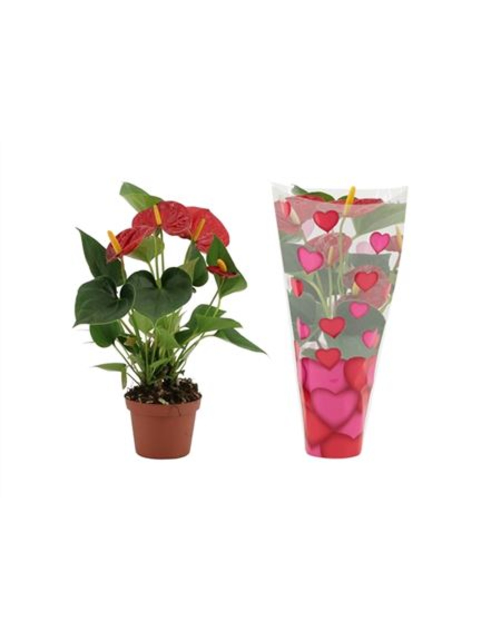 VDP Anthurium Diamond Red In Hartjes Hoes Lilly x 12