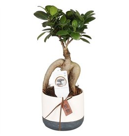VDP Ficus M. Ginseng Pot Ø09cm In Ø11cm Ceramic Twoton x 14