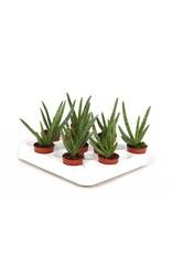VDP Aloe Vera Mini x 20