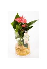 VDP Anth St Pink Champion Glas Aqua Roots x 3