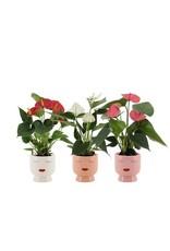 VDP Anthurium 3 Kleuren Mix In Delhi Keramiek - Soft I x 8