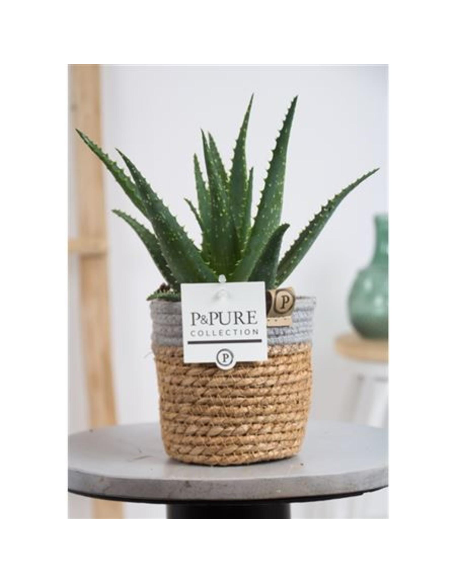 VDP Aloe Arborescens Basket Iii x 6