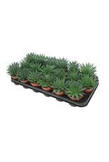 VDP Aloe Aristata x 18