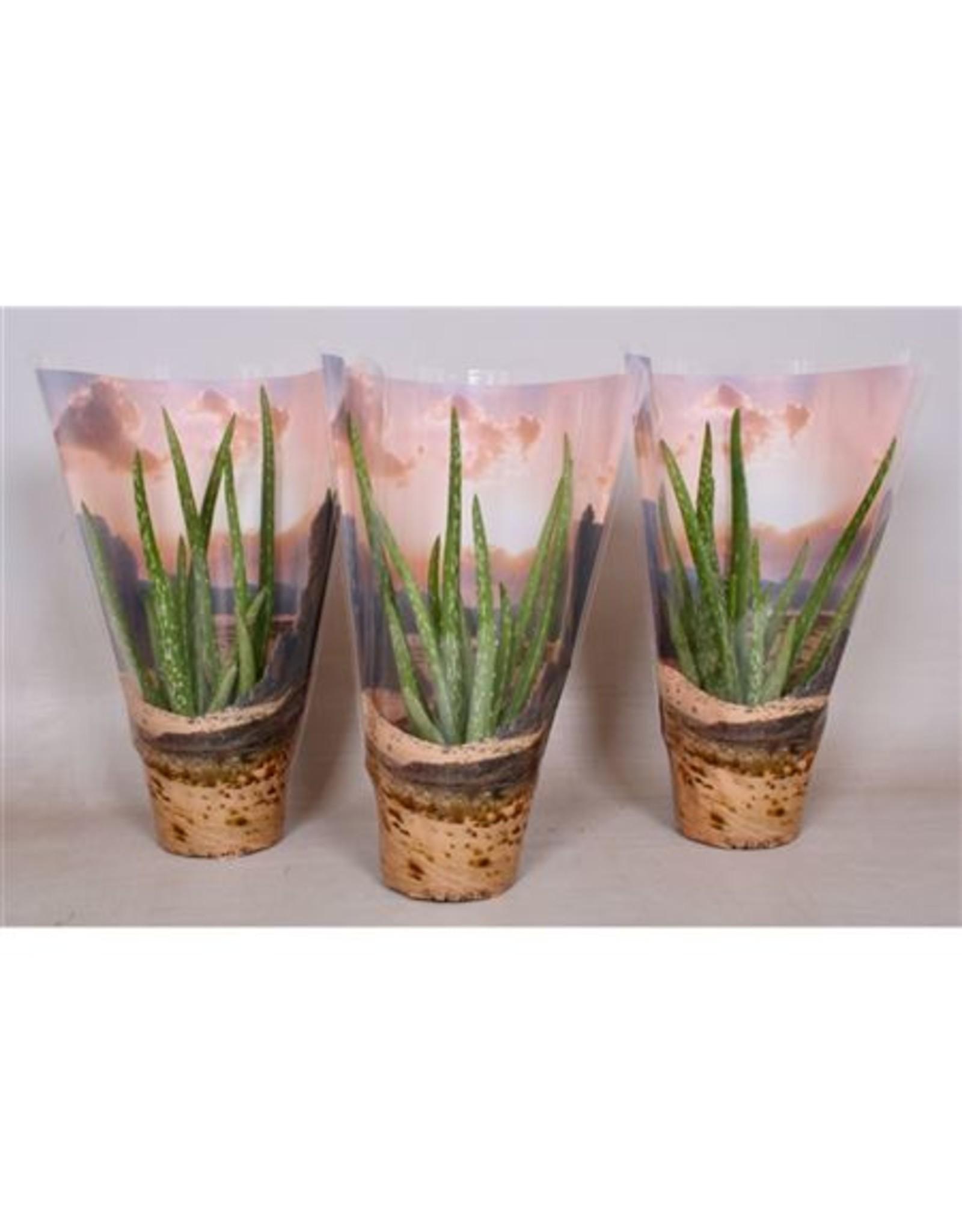 VDP Aloe Vera Desert Hoes. x 6