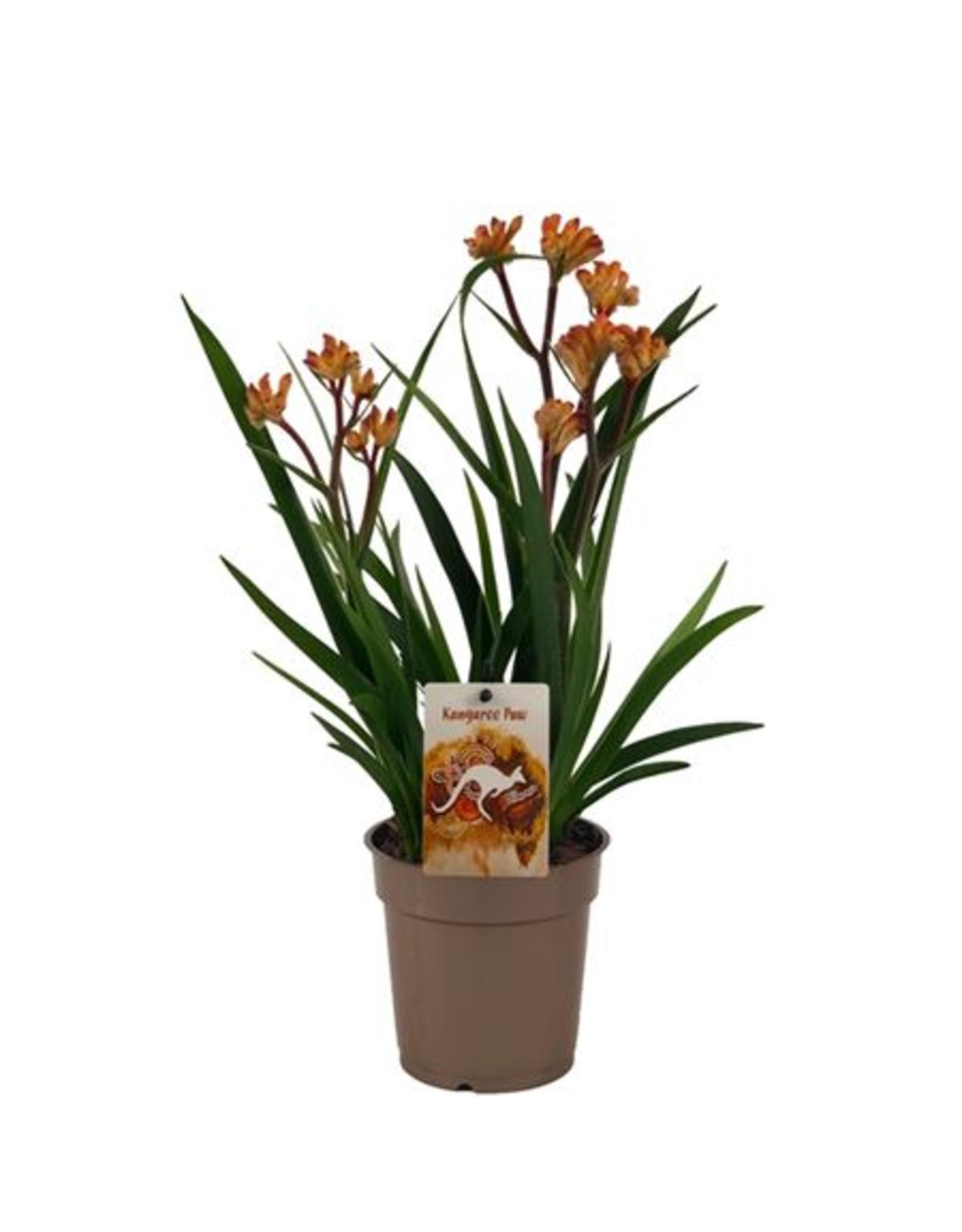 VDP Anigozanthos Beauty Orange® x 6