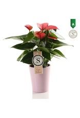 VDP Anth St Pink Champion Keramiek Paris x 9