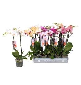 VDP Phalaenopsis 7 Color Mix, 2-spike 18+ x 6