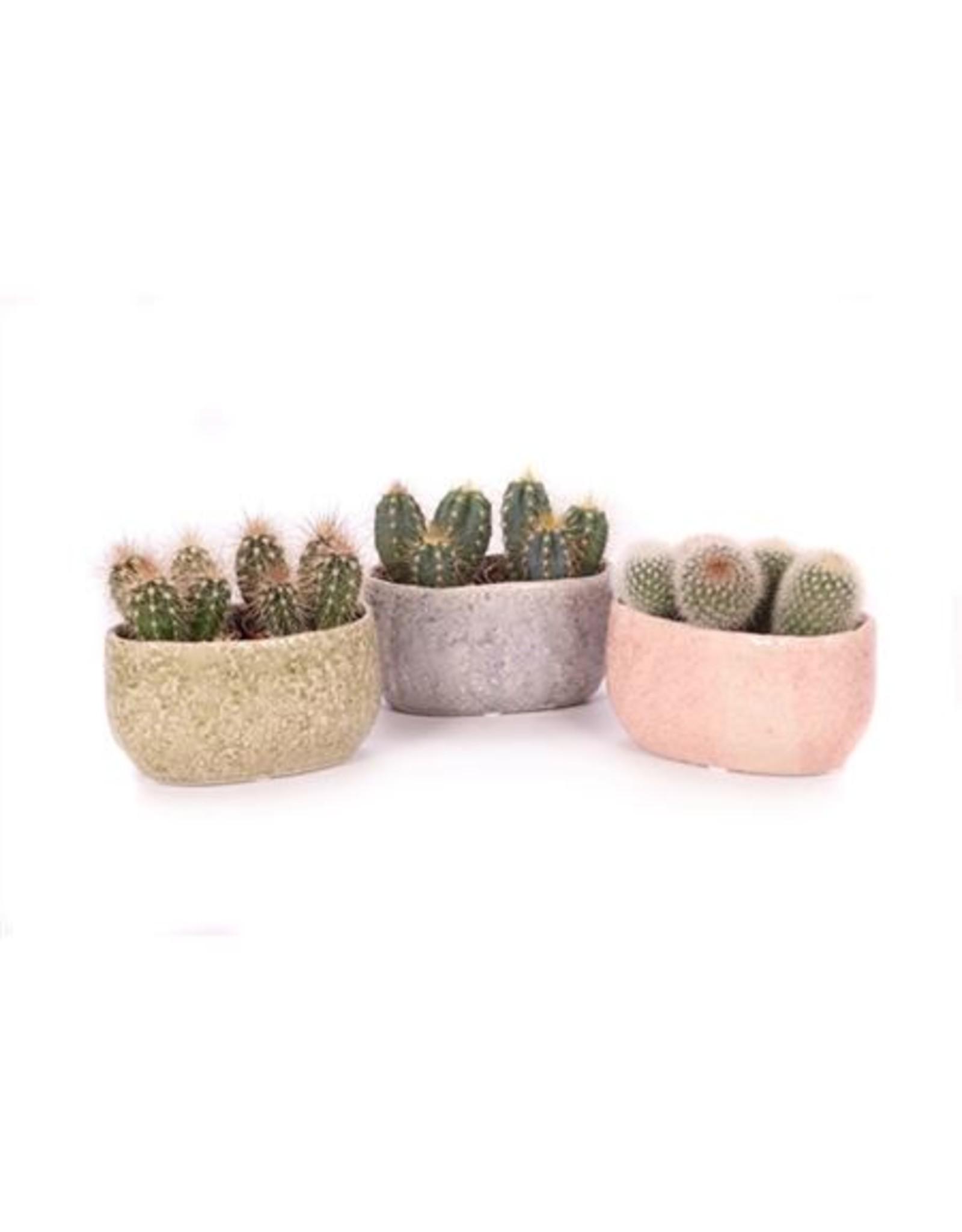 VDP 2x Cactus 6 Cm In La Quinta Ovaal x 10