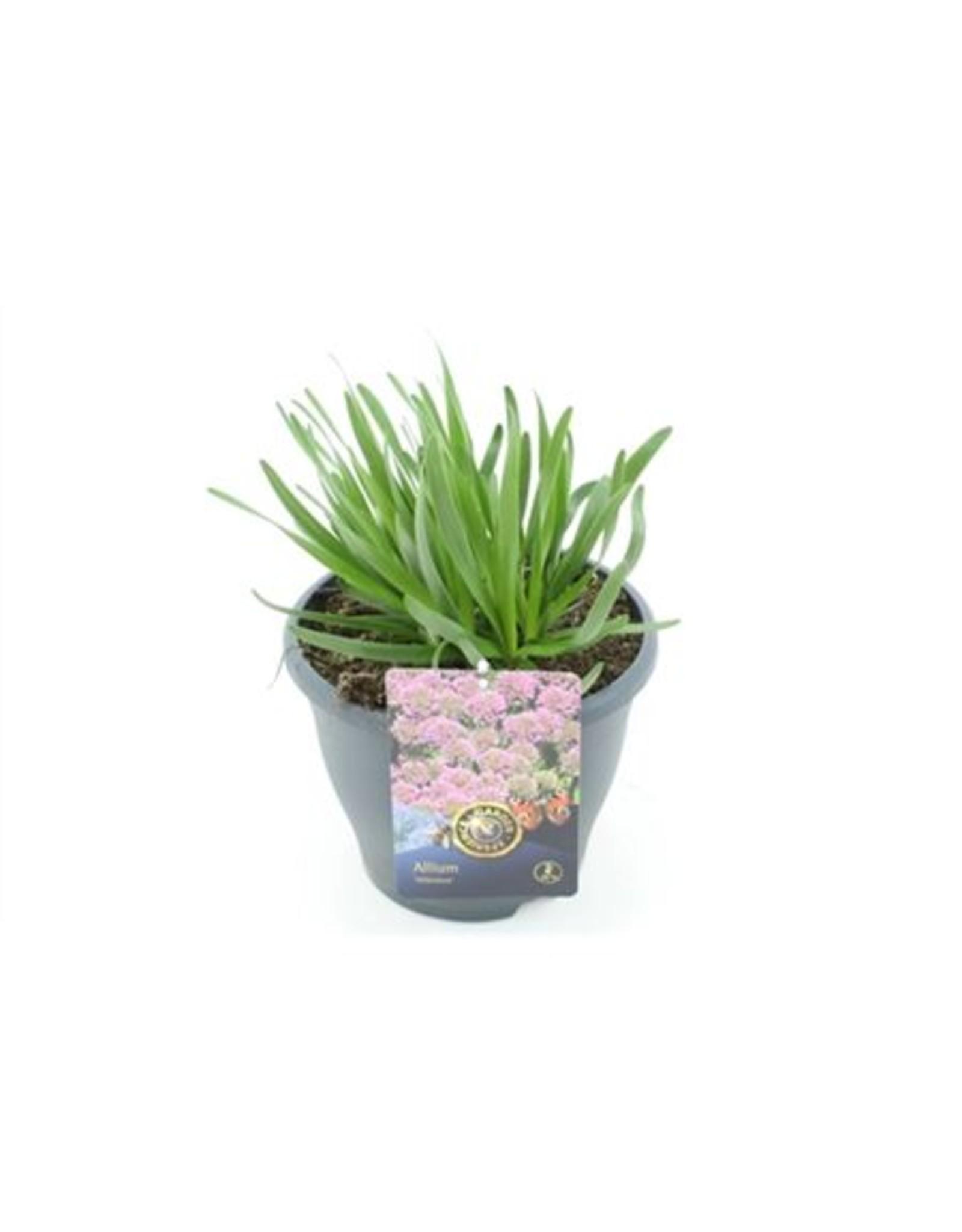 VDP Allium Millenium x 3