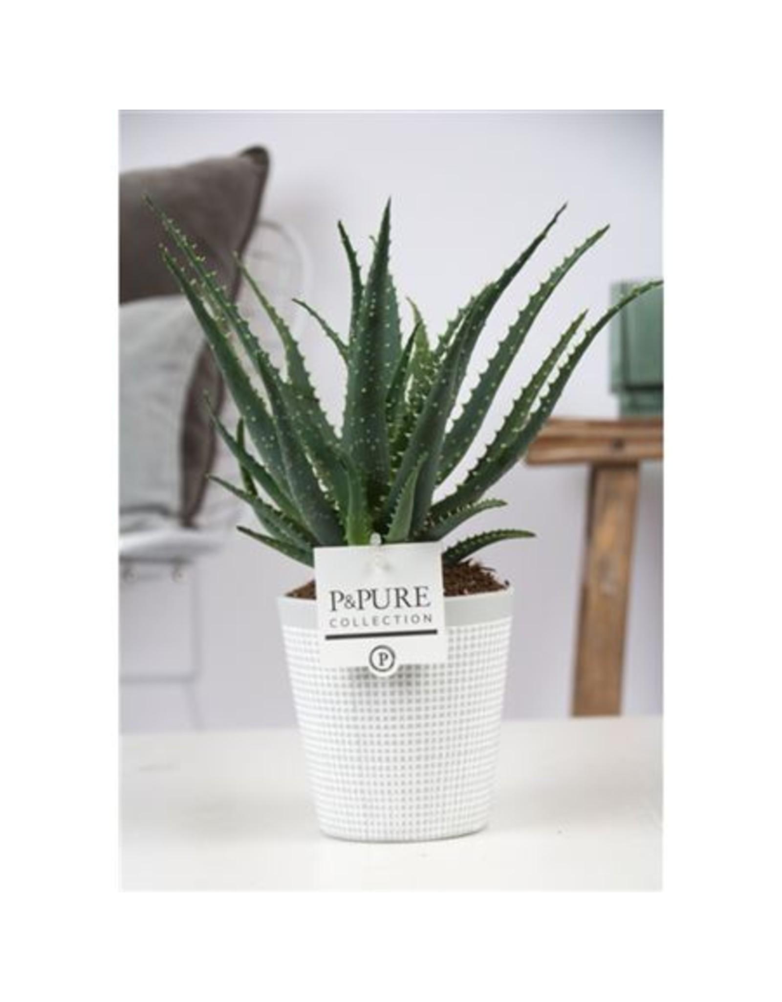 VDP Aloe Arborescens In Pure Clay Ii Grey x 6