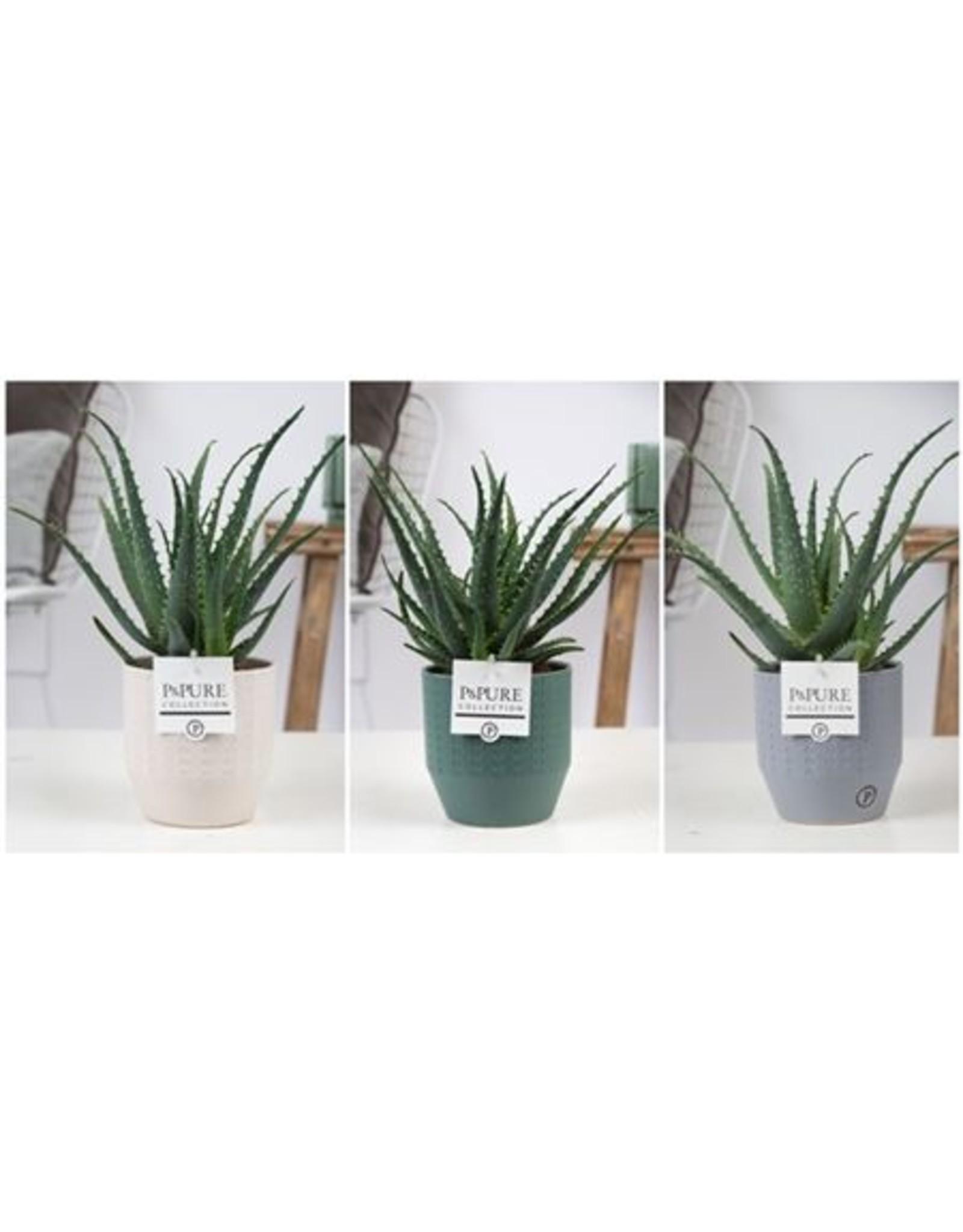 VDP Aloe Arborescens Keramiek Expression x 6