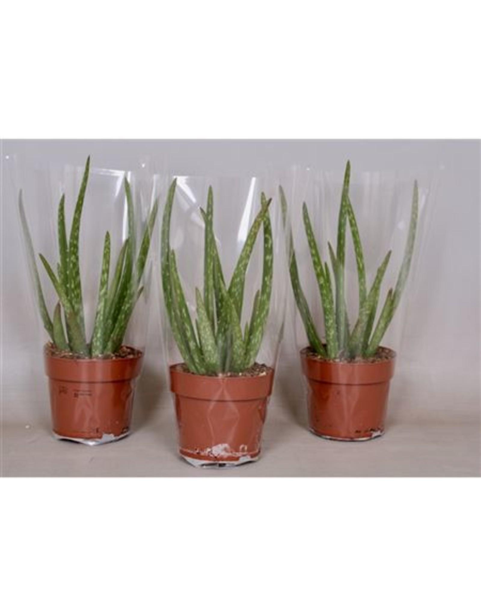 VDP Aloe Vera x 6
