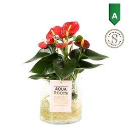 VDP Anth St Red Champion Glas Aqua Roots x 3