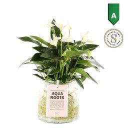 VDP Anth St White Champion Glas Aqua Roots x 3