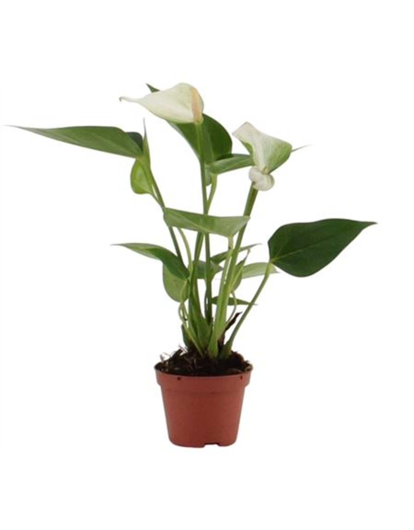 VDP Anthurium Baby White In Blanco Hoes x 20