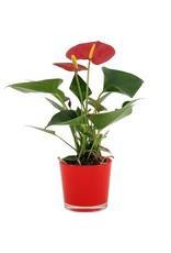 VDP Anthurium Success Red In Joy Rood Glas x 8