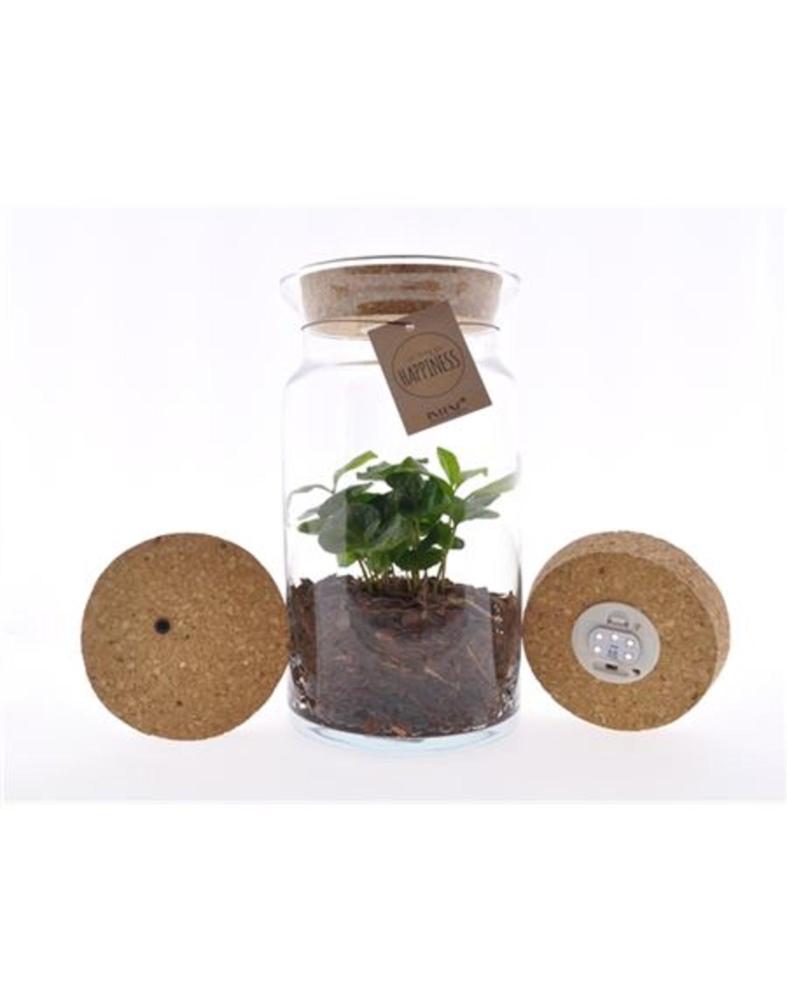 VDP Arr Coffea Arabica Glas Luma Flora + Kurk Led x 4