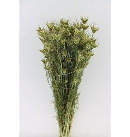 GF Dried Nigella Orientalis Bunch x 4