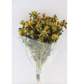 GF Dried Carthamus Yellow Bunch x 5