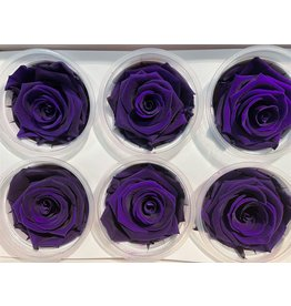 GF Ro Preserved Purple ( Lilac ) Hv x 6