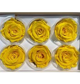 GF Ro Preserved Yellow Hv x 6