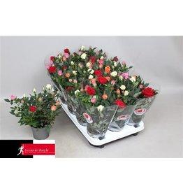 VDP Rosa Quattrose Kordana x 15