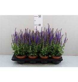 VDP Salvia Ne Bor D Blue x 8