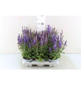 VDP Salvia Nemorosa x 6