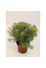 VDP Adenanthos Ser Woolly Bush x 6