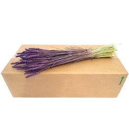 QC Triticum per bunch purple x 20