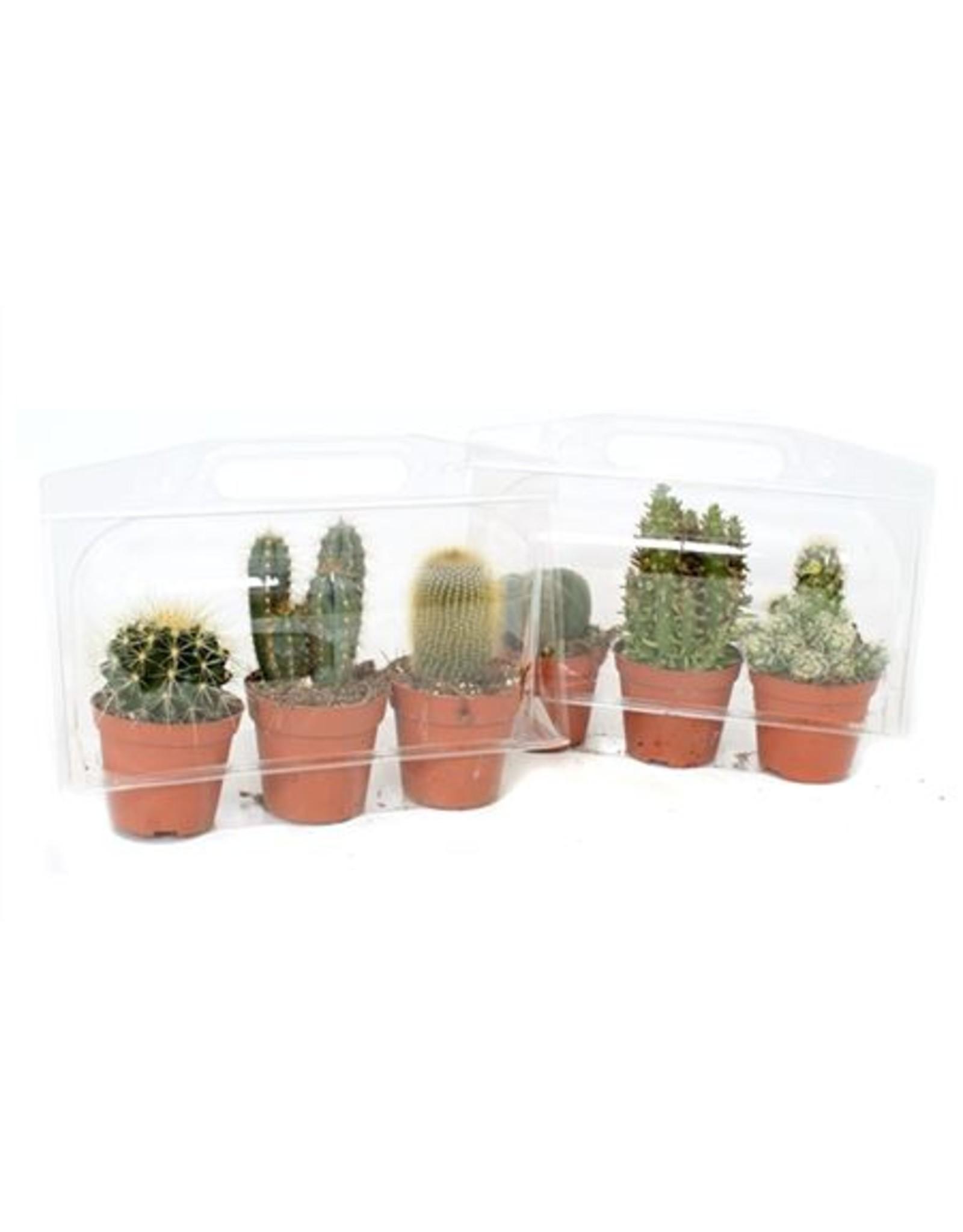 VDP 3x Cactus 8,5 Cm In 3er Blister x 6