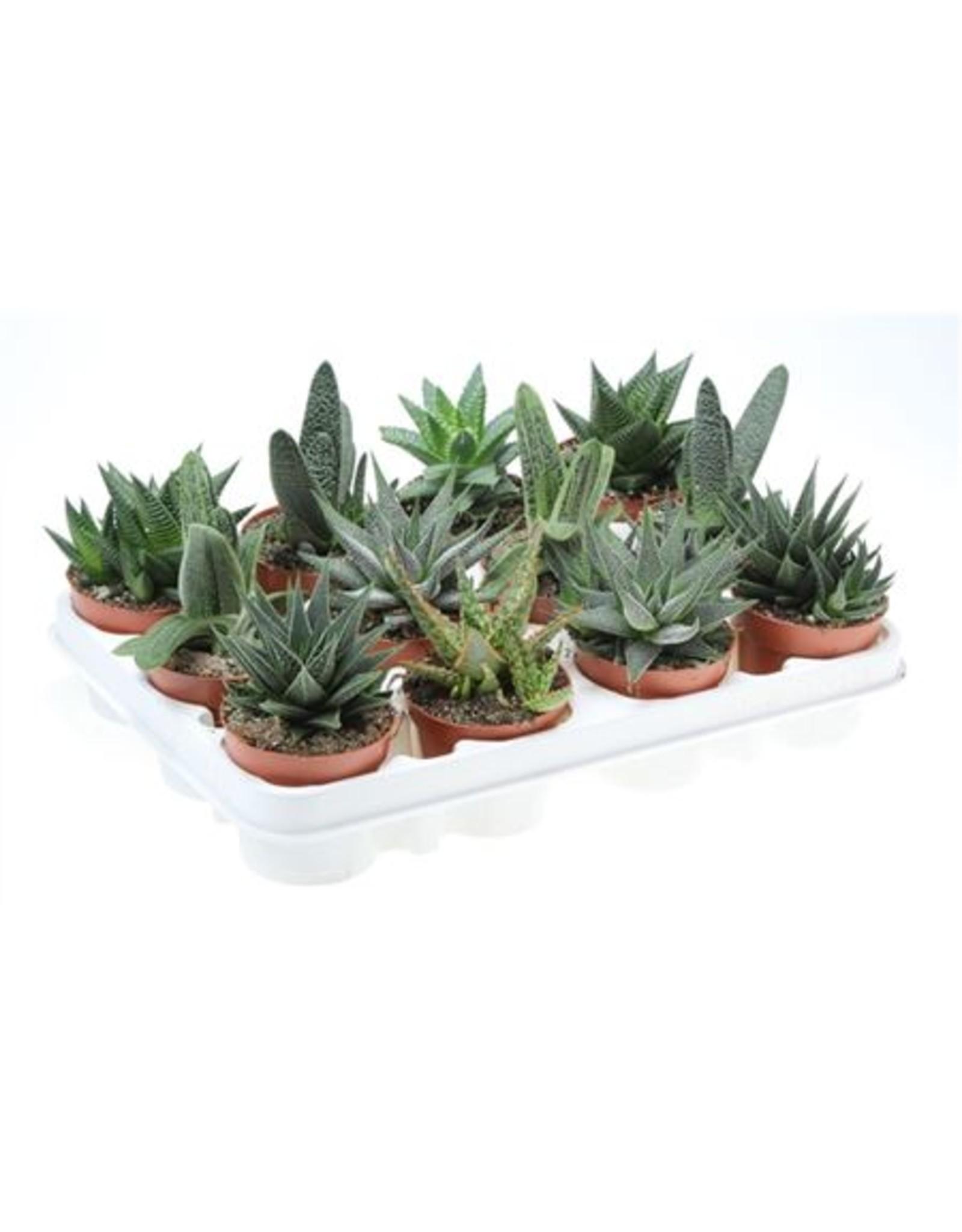 VDP Aloe - Haworthia Gemengd x 12