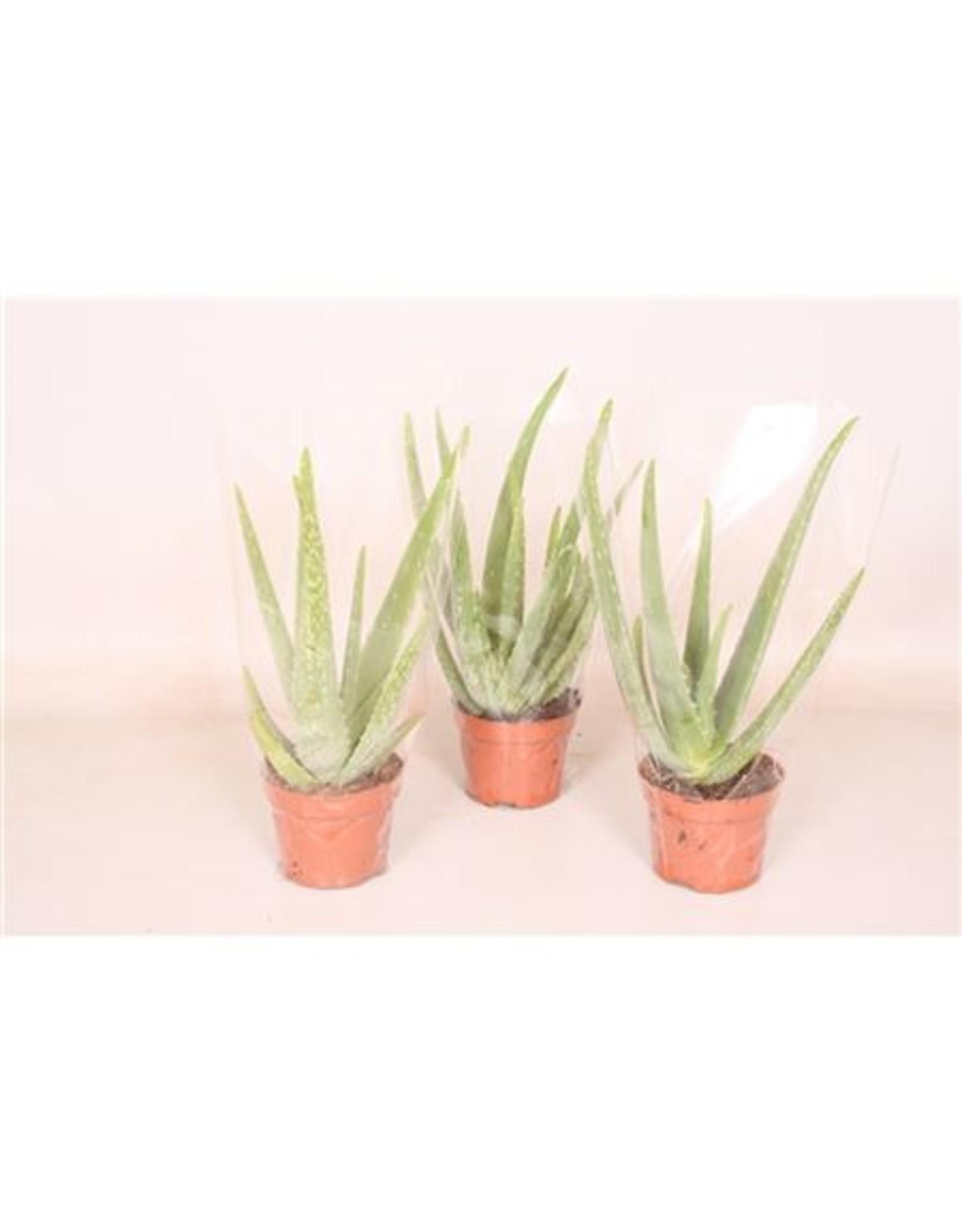 VDP Aloe Vera x 9