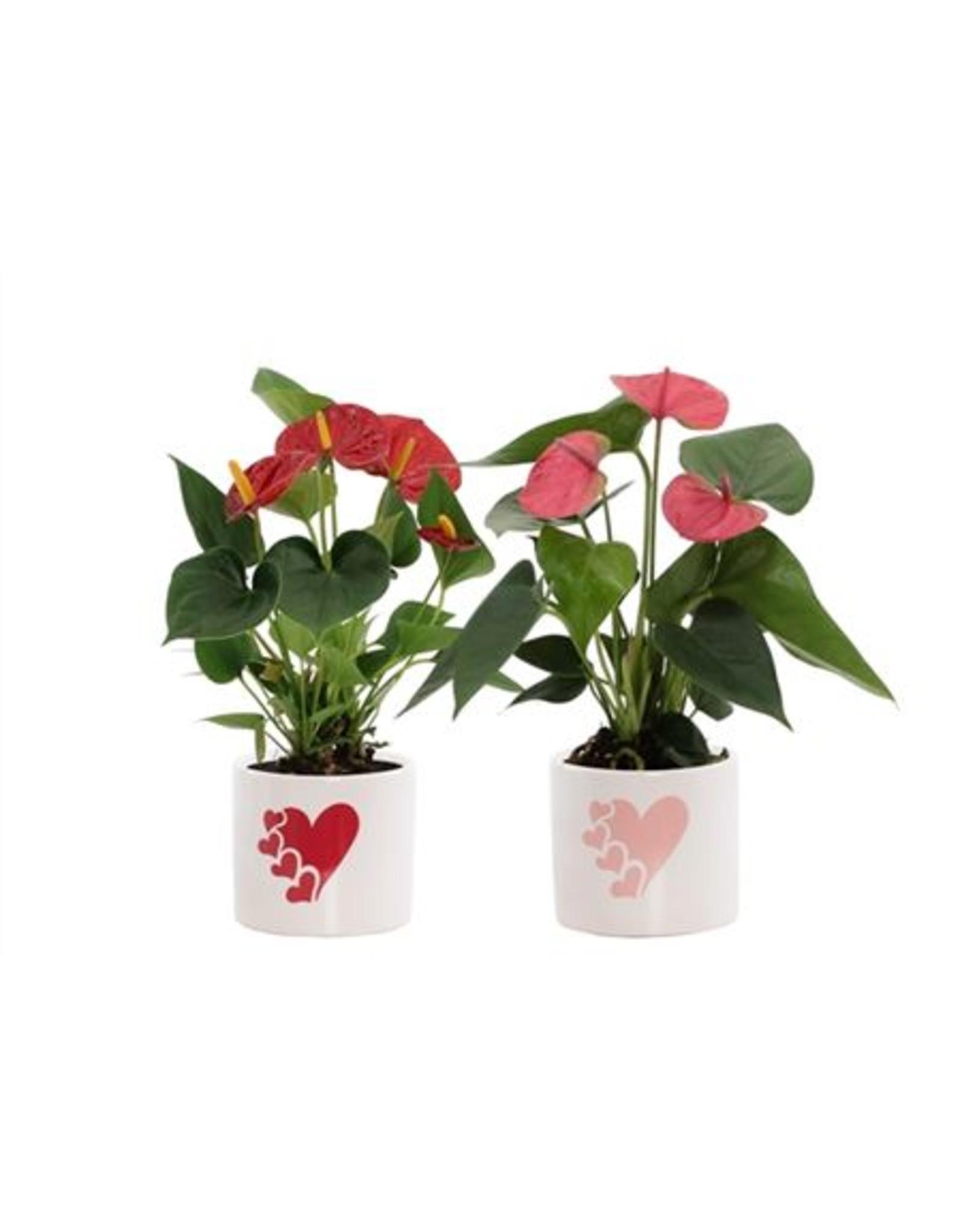 VDP Anthurium Rood-roze Mix In Fien Keramiek - Soft Il x 8