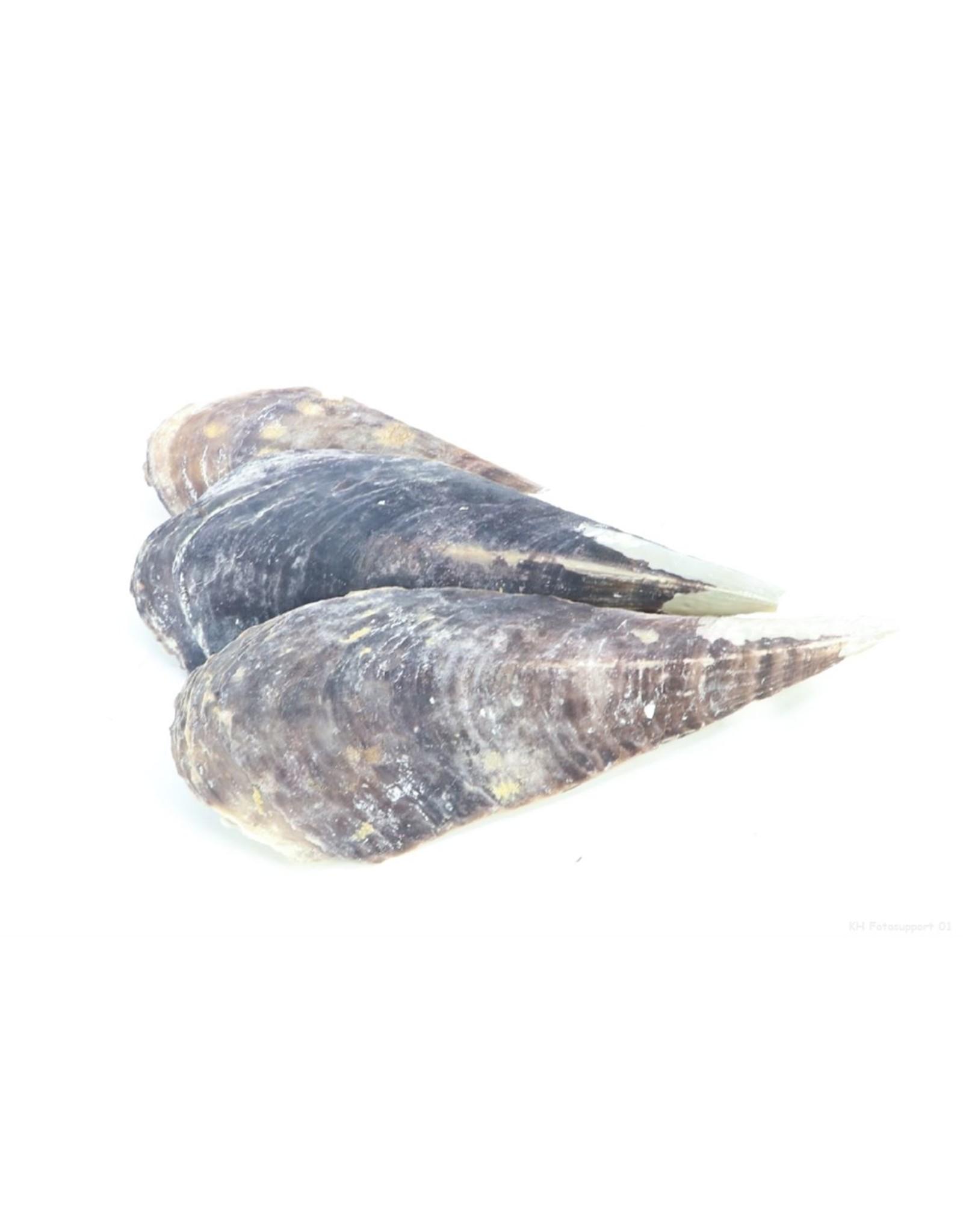 HD Basic Shell Pinnidae Penshell 1kilo (x 16)