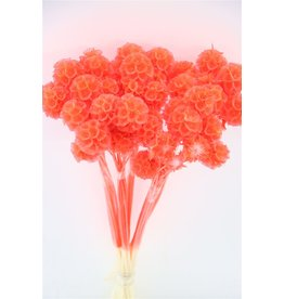 GF Dried Scabiosa Frosted Red Bunch Slv x 5