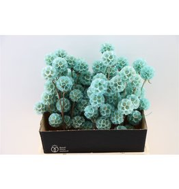 GF Dried Scabiosa Turquoise Bunch Slv x 5