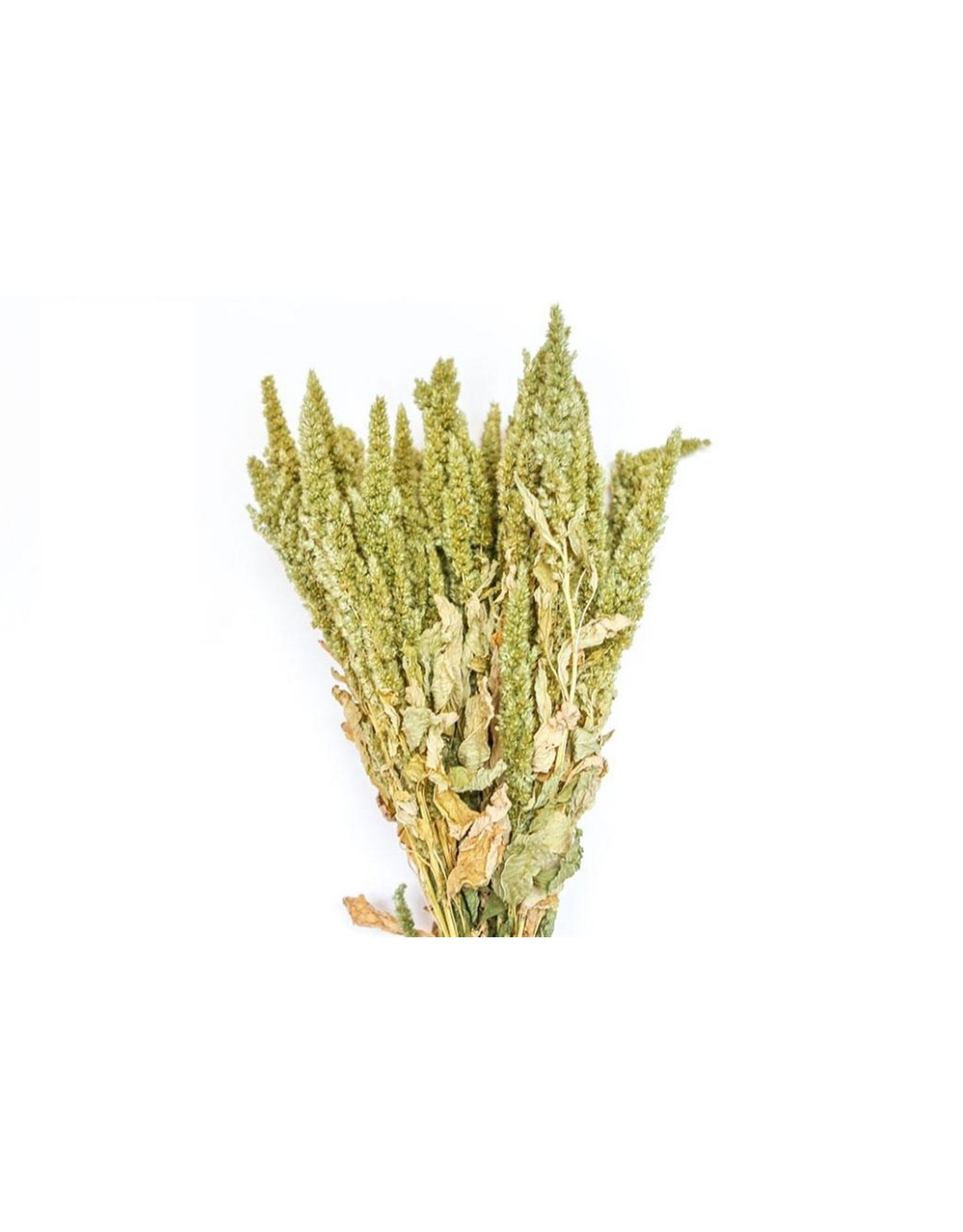 HD bos Amaranthus groen in hoes ↑50.0 (x 15)