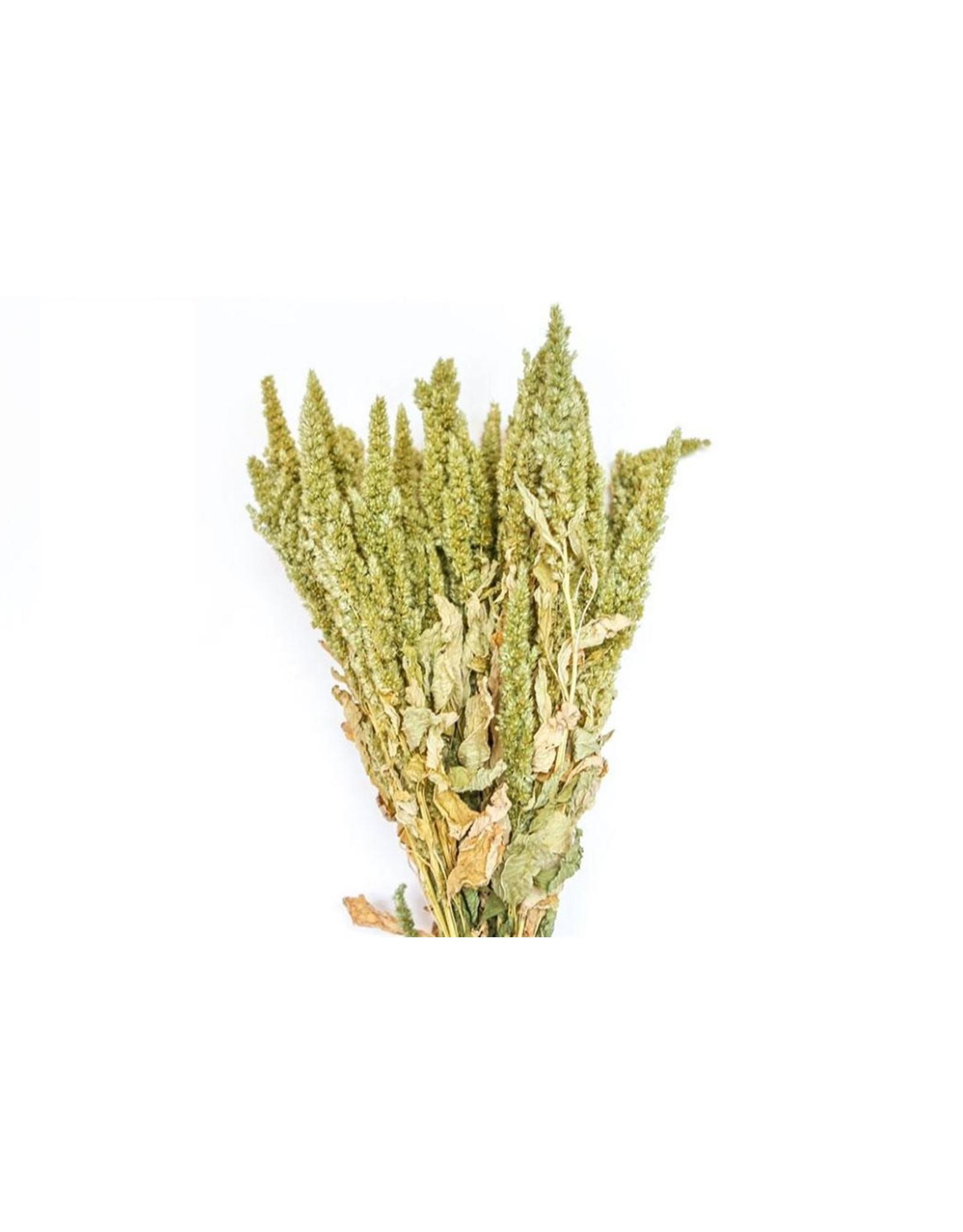 HD Bündel Amaranthus grün Slv ↑50.0 (x 15)