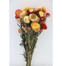 GF Gedroogde Helichrysum Apricot Bunch x 5