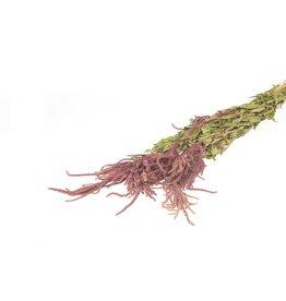 HD Bündel Amaranthus Caud. rot Slv ↑60.0 (x 20)