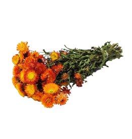 HD Bunch Helichrysum Orange Slv x 19