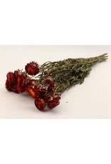 HD bos Helichrysum rood in hoes (x 19)