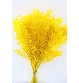 GF konserviert Ruscus gelb P. Vorbau (x 25)