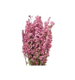 HD Bündel Delphinium rosa Slv (x 20)