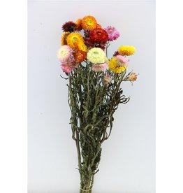 GF Gedroogde Helichrysum Mixed Bunch x 4