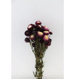 GF Gedroogde Helichrysum Violet Bunch x 4