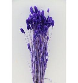 GF Gedroogde Phalaris Lilac Bunch x 5